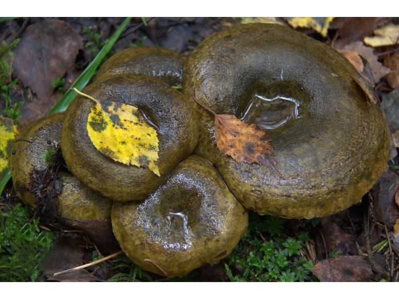 Черный груздь - гриб убийца?